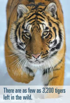 There are as few as 3,200 tigers left in the wild.