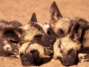 Wallpaper Baby Animals - african wild dogs thumbnail