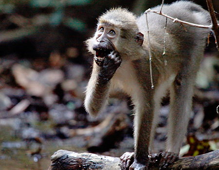 young agile mangabey