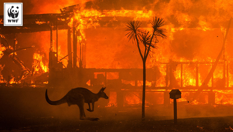 kangaroo rushing past a burning house in New South Wales