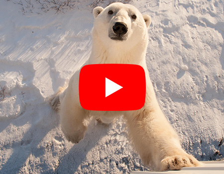 play button on  polar bear cub