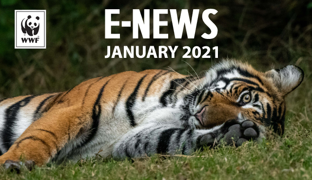 January 2021 E-News and WWF logo on a photo of a tiger laying down