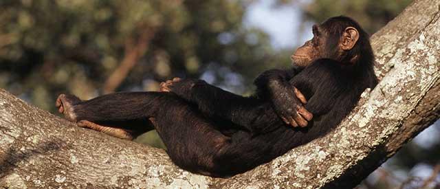 Chimpanzee reclining in a tree