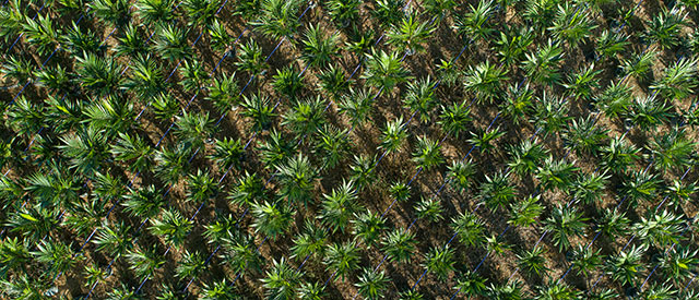 aerial view of spiky plants growing in a row