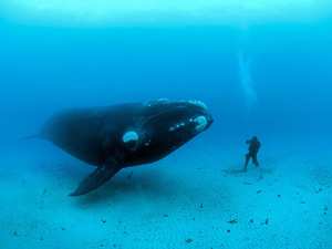 Wallpaper Marine Life - whale and diver wallpaper