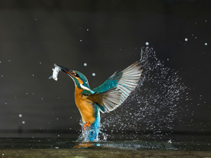 Kingfisher Wallpaper Thumbnail