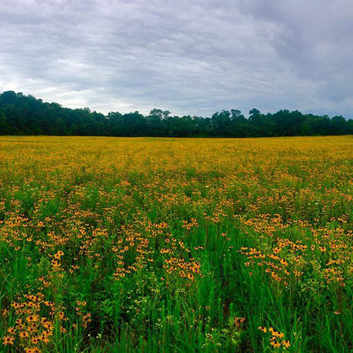 A field of yellow wildflowers in Caumsett State Park