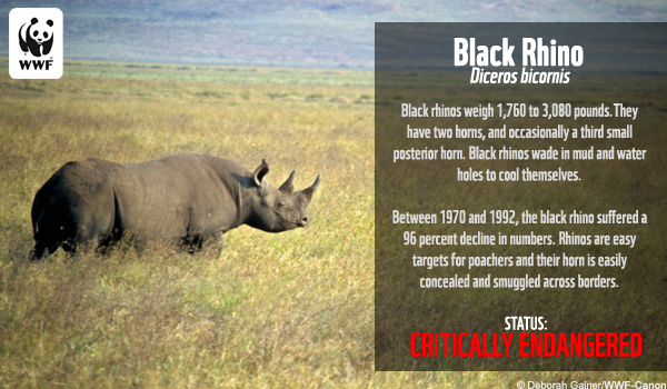 Species Ecard Black Rhino