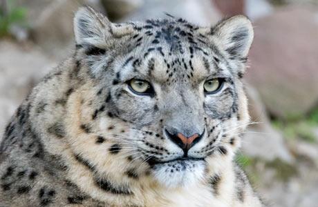 Adopt A Snow Leopard World Wildlife Fund