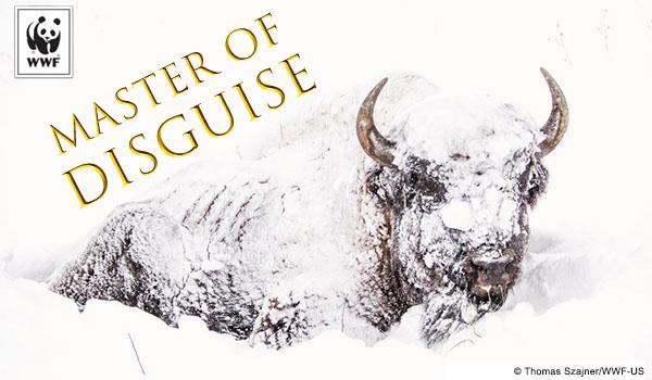 bison ecard