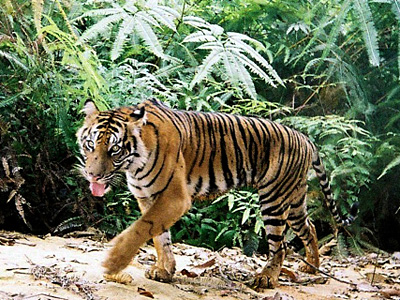 Tell Congress to protect tiger habitats