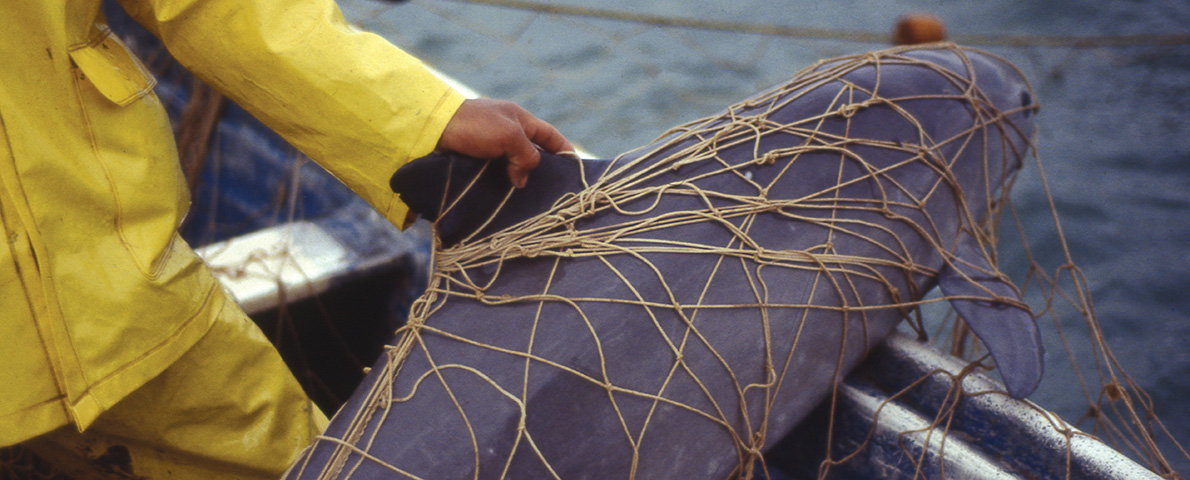 Vaquita caught in gill net