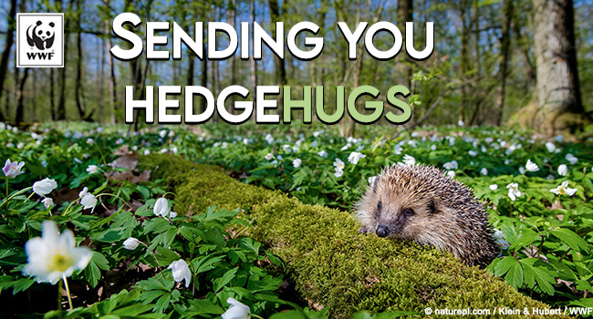 ecard of a hedghehog on a log amongst greener that says sending you hedgehugs