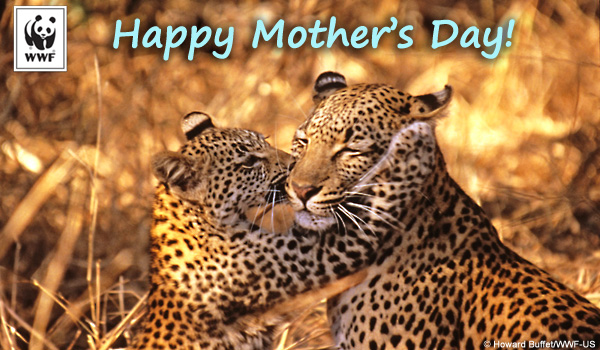 Mother's Day ecard leopards