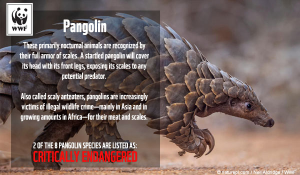 pangolin species ecard