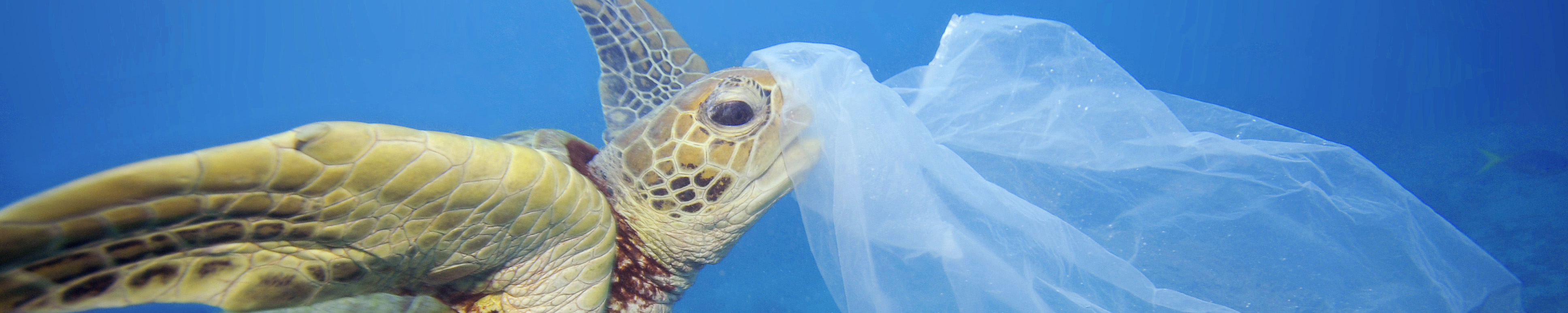 Green sea turtle with a plastic bag