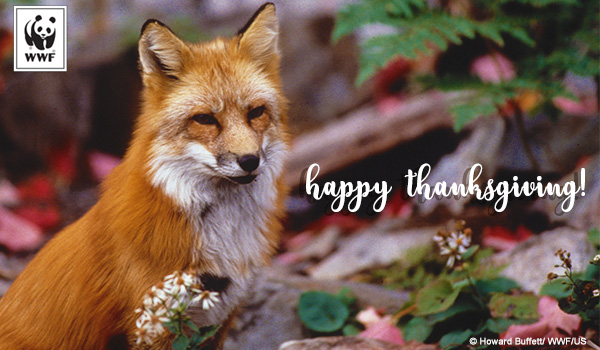 ecard of a fox amongst fkowers that says happy thanksgiving!