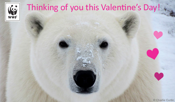 Valentine's Day donation ecard polar bear