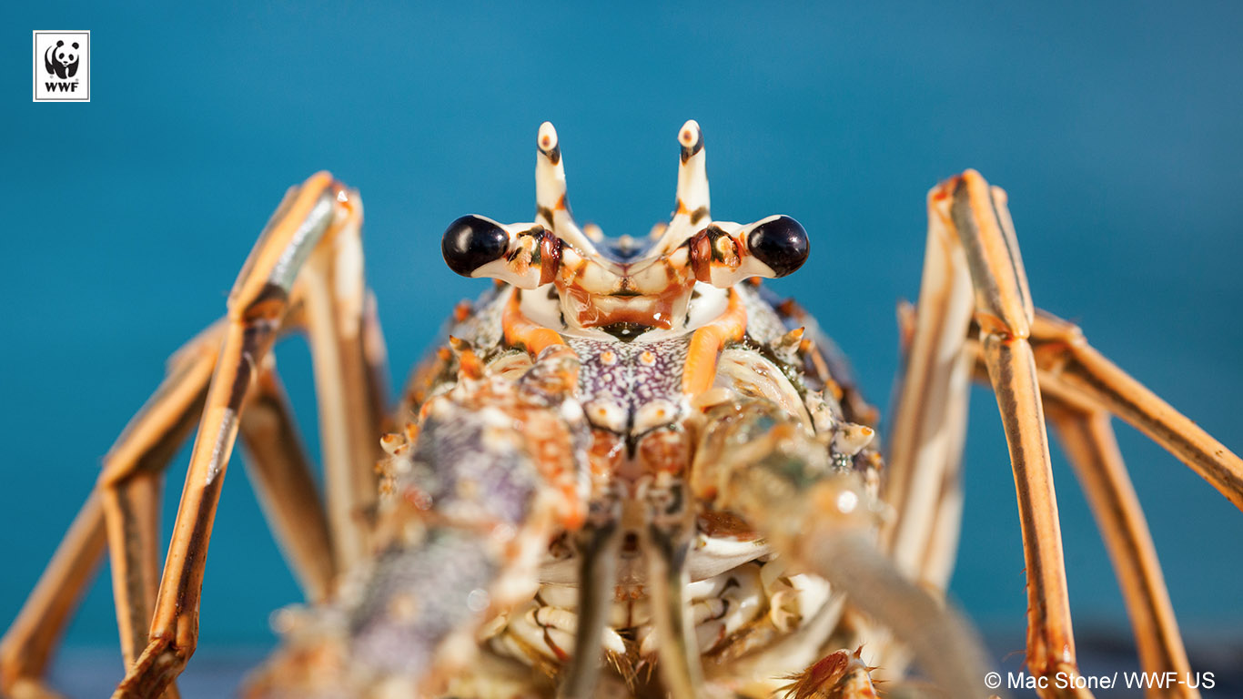 spiny lobster background