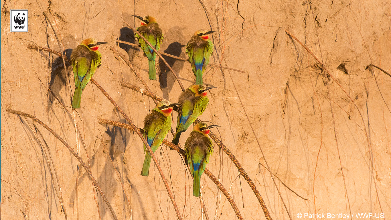 white fronted bee-eaters background