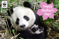 Mothers Day Donation Ecard Panda